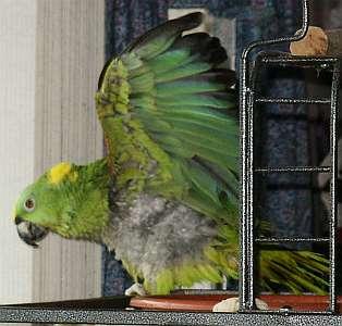 Parrot taking a bath