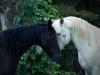 Horses Sharing Secrets