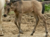 Quarter Horse Buckskin Filly