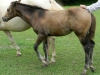 2016 AQHA Buckskin Filly