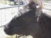 Dexter Cattle Rope Halter