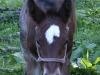 Derby Foal Halter