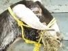 Cinder Goat Rope Halter