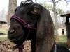 Goat Rope Halter