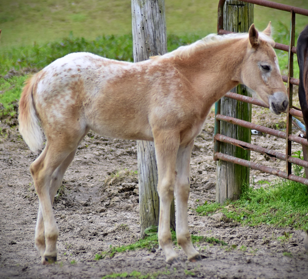 2020 Palomino Walkaloosa Filly