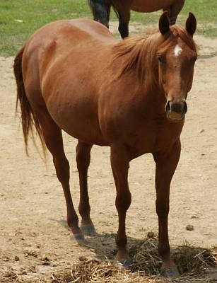 Sorrel Quarter Horse. Reining Quarter Horse